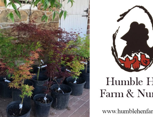Japanese Maples available at Humble Hen Farm