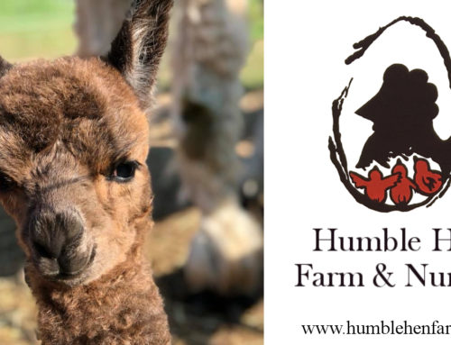 First baby alpaca born at Humble Hen Farm